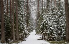 Forest path (sanchijs) Tags: forest path trail footpath winter winterwonderland spruce walk walkintheforest exploring welivetoexplore landscape trees solitude latvija latvia