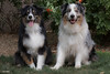 Happy Easter from Dash and Jasper (Jasper's Human) Tags: aussie australianshepherd