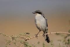 southern grey shrike (simonrowlands) Tags: southern grey shrike lanius meridionalis lanzarotebirds canaryislandbirds cache arid