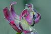 Unexpected beauty (Sylvia Sassen) Tags: tulip drops flower