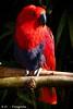 Papagei / Parrot (R.O. - Fotografie) Tags: edelpapagei papagei parrot outdoor rot red blau blue nahaufnahme closeup close up vogelpark heiligenkirchen detmold rofotografie vogel bird panasonic lumix dmcfz1000 dmc fz1000 fz 1000
