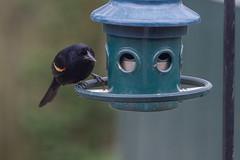 Blackbird being denied :( (John Brighenti) Tags: bird birds blackbird black feathers rockville maryland rockvillemd sony sonyalpha sonyalpha7 sonya7 sel70300g ilce7