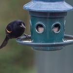 Blackbird being denied :( thumbnail