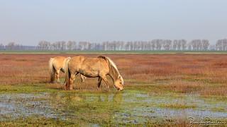 Fjord horses on wet land