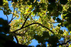 AAC_7702_watermarked (Quentin CUVELIER) Tags: angiospermes arbres base continentsetpays d7000 dicotylédones doubs europe fr fra flora flore france franchecomte français french nature nikon nikonlens objectifnikon phanérogames photo photographie photography quentincuvelier sujets tilia tilia×europaea tiliacées tilleulcommun tilleuls arbre besançon citadelle