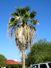 Palm Tree (M.P.N.texan) Tags: palm tree texas padreisland corpuschristi