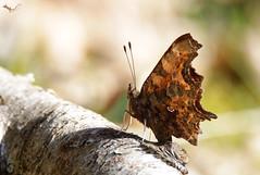 C-Falter 600mm (svensonkra26) Tags: 600mm 70d cfalter schmetterling butterfly insekt frühjahr