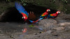 Scarlet Macaw (Ara macao) (www.sanjorgeecolodges.com) Tags: scarlet macaw ara macao ecuador south america san jorge ecolodges tours trips birding bird photo luis alcivar best pájaro tucán animal macrofotografía madera birdwatching gente en la personas amazon amazonia