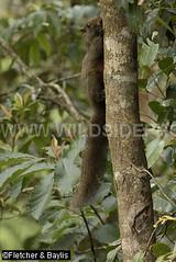 41025 Pallas's Squirrel (Callosciurus erythraeus), disturbed montane forest, Fraser's Hill, Pahang, Malaysia. IUCN=Least Concern. (K Fletcher & D Baylis) Tags: wildlife fauna animal mammal rodent squirrel sciuridae pallasssquirrel redbelliedtreesquirrel callosciuruserythraeus leastconcern montanerainforest frasershill pahang malaysia asia january2018