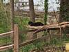 Cat on a Hot . . .  Piece of Driftwood! (BKHagar *Kim*) Tags: bkhagar hff fence cat ollie feline kitty black tuxedo driftwood yard outdoor elkriver