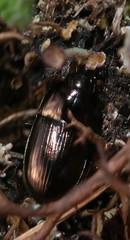 Amara sp  carabidae (BSCG (Badenoch and Strathspey Conservation Group)) Tags: acm insect beetle carabidae amara ground april heathland