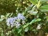 2018.04.12 - hairyleaf ceanothus (JBYoder) Tags: angiosperm ceanothus ceanothusoliganthus dicot flora flower rhamnaceae placeritacanyon california