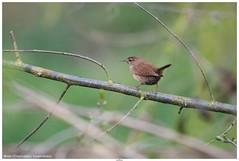 Wren (Troglodytes troglodytes) (jhureley1977) Tags: wren troglodytestroglodytes rspb stockerslake birds birding birdsofbritain britishbirds ashutoshjhureley ashutosh rspbbirders