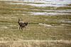 Roedeer (G E Nilsen) Tags: roedeer pasture spring springtime norway northernnorway norwegiancoast