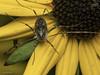 Famille Phalangiidae - Odiellus pictus (Répertoire des insectes du Québec) Tags: arachnide araignée arachnida macro quebec spider