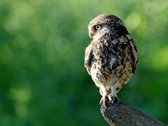 Little Owl (robin denton) Tags: owl littleowl bird nature wildlife uk yorkshire athenenoctua owlet pair birds birdphotography wildlifephotography yorkshirewildlifetrust birdofprey inthewild