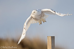 Snowy Owl In Flight (Mitch Vanbeekum Photography) Tags: snowyowl snow snowy owl flight inflight flying fly buboscandiacus nj newjersey mitchvanbeekum mitchvanbeekumcom canon14teleconvertermkiii canoneos1dx canonef500mmf4lisiiusm jerseyshore sky blue bluesky