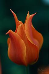 pointyTulip (melanie.fluff89) Tags: tulip orange flower macrodreams blooming muttartconservatory edmonton