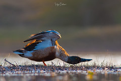 Morning Stretch ( Northern Shoveler ) (Irtiza Bukhari) Tags: morningstretch earlymorningstretch wildbird wildlifeofpakistan birdsofpakistan one male waterfowl waterbird lake river birdinpond bird pond wwf wwfpakistan bukhari irtiza nature beauty shoveler northern northernshoveler