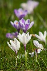 Spring Crocus... (Adam Swaine) Tags: flowers flora spring peckhamryepark crocus britain parks england londonparks uk petals canon nature