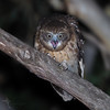 Southern Boobook (VS Images) Tags: southernboobook owls nightphotography nightbirds nocturnal nocturnalbirds ninoxnovaeseelandiae strigidae birds bird birding feathers wildlife wildlifephotography australianbirds animals avian australianwildlife australia nsw nature ngc naturephotography vsimages vassmilevski olympus olympusau getolympus m43 olympusinspired