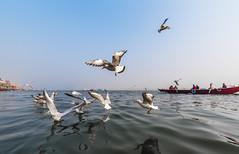 @ Varanasi (Well-Bred Kannan (WBK Photography)) Tags: varanasi banaras banarasi uttarpradeshincredibleindia india asia seagulls boat water ganga ganges hinduism wbk wbkphotography travel