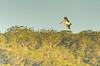 MRR_5818.jpg (Merrillie) Tags: woywoy nature australia flying fly newsouthwales animal nsw wildlife bird coastal sky animals fauna centralcoast pelican birds