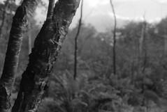 (Armin Schuhmann) Tags: 2017 nikon nikkor nikkormat nikomat ft2 n 35mm f14 wideangle prime radioactive lanthanum thorium vintagecamera vintagelens vintage old greenfilter agfa apx apx400 400asa negative kodak d76 scan selfdeveloped shootfilm schwarzweiss sw schwarzundweiss schwarzweis blackandwhite blackwhite bw northeast noiretblanc argentique analogue analogic analog analogo monochrome monochrom filmisnotdead filmphotography filmscan filmphoto filme film ishootfilm believeinfilm buyfilmnotmegapixels estrie easterntownships quebec canada landscape countryside rural trees forest woods bark foliage sky bokeh nature natural 35mmf14