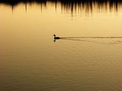 I pensieri della laguna... (alex.gb) Tags: svasso lagoon albarella sieditisullariva reflections ipensieridellalaguna grebe riflessi evening sunset uccello bird waterbird water