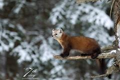 Branching out (Seventh day photography.ca) Tags: pinemarten marten mammal animal algonquin wildanimal wildlife winter ontario canada predator