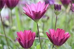 IMG_2529 Margaritas (Perota5) Tags: flores vida primavera amor al arte