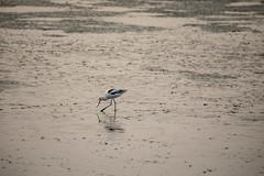 American Avocet (Erik Strahm) Tags: bird animal americanavocet mountainview california unitedstates us wetland