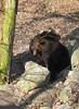 MWE-20180325-008 - bewerkt.jpg (Schuttermajoor1974) Tags: ouwehandsdierenpark berenbos bruinebeer dierentuin rhenen utrecht nederland nl