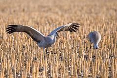 _D855677 (jrash168) Tags: sandhillcranes birds cranes nebraska wildlife nikon d850
