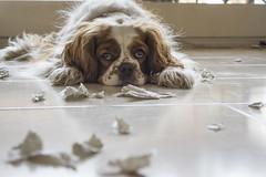 Guilty?// Culpable? (Mireia B. L.) Tags: blanco cavalierkingcharlesspaniel cavalierkingcharles guiltydog perro dog funnydogs