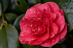 Damp camellia (Lord V) Tags: flower camellia