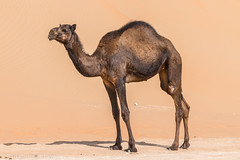 Rub al-Khali (Darth Jipsu) Tags: hump mammal dunes sand uae emptyquarter unitedarabemirates rub abudhabi blue sky camel dromedary emirates desert rubalkhali émiratsarabesunis ae