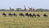 Crossing The Ndutu Plains (AnyMotion) Tags: giraffe giraffacamelopardalis bluewildebeest commonwildebeest whitebeardedwildebeest weisbartgnu streifengnu blauesgnu connochaetustaurinus antelope antilope plains savannah savanne 2018 anymotion ndutuplains ngorongoroconservationarea tanzania tansania africa afrika travel reisen animal animals tiere nature natur wildlife 7d2 canoneos7dmarkii ngc npc