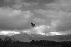 Gartmorn Dam 1, Scotland (picsbyCaroline) Tags: sky bird landscape snow hill forest trees scotland scenery fly flight tree mountain