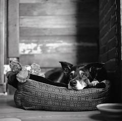 rauzzie. (tumbleweed.in.eden) Tags: selfdeveloped leavenworth bushelandbeetaproom rauzzie aussie bordercollie film analog hasselblad 503cx mediumformat carafarnell tmax400