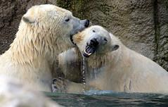 polarbear Blijdorp BB2A7497 (j.a.kok) Tags: polarbear bear beer ijsbeer ursusmaritimus predator animal blijdorp mammal zoogdier dier noordpool northpole arctic
