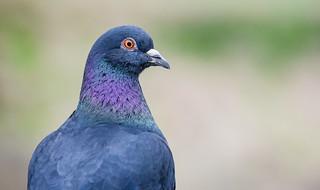 Rock Pigeon in Ridgefield