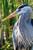 Great Blue Heron Portrait (dianne_stankiewicz) Tags: wildlife nature bird coastal heron gbh greatblueheron