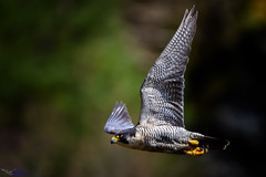 Peregrine Falcon (f). (spw6156 - Over 6,560,030 Views) Tags: peregrine falcon f iso 800 full frame she came shooting out escort off an intruding juvenile possibly last years there was no aggression copyright steve waterhouse