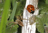 Ugly Bug Ball (Prank F) Tags: bradlaughfields wildlifetrust northamptonuk nature wildlife insect arachnid macro closeup beetle ladybird ladybug nursery web spider bug shieldbug bishops mitre aeliaacuminata 7spot coccinella7punctata 16spot tytthaspis16punctata