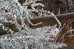 frost blooms (czarmeg) Tags: frost branch buds bloom fence outdoors hike cold coloradosprings ice freeze