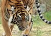sumatran tiger Burgerszoo BB2A9438 (j.a.kok) Tags: tijger tiger sumatraansetijger sumatrantiger pantheratigrissumatrae animal asia azie predator kat cat mammal zoogdier dier burgerszoo