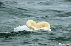 Cœur de cygnes (jean-daniel david) Tags: oiseau oiseaudeau cygne paradenuptiale yverdonlesbains lac lacdeneuchâtel eau closeup nature blanc vague