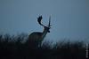 ©Mark Kras-Damhert-IMG_2414.jpg (markkras-fotografie) Tags: herten damhert zoogdieren fauna damadama fallowdeer nederland nl