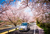 sakura '18 - cherry blossoms #8 (Kamigamo, Kyoto) (Marser) Tags: xt10 fuji raw lightroom japan kyoto kamigamo kamogawa river flower cherry sakura car road 京都 上賀茂 賀茂川 桜 車